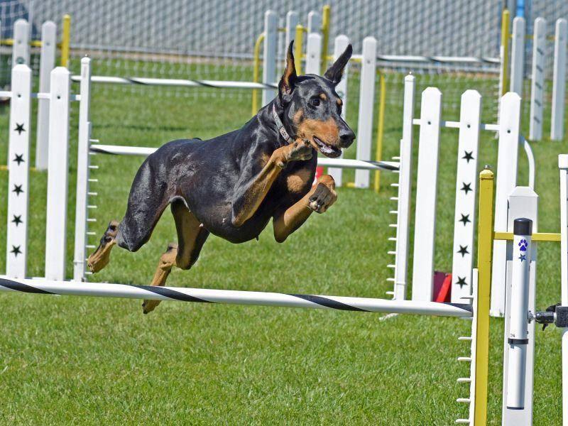 Intelligent und temperamentvoll, wie er ist, ist der Dobermann ein begnadeter Hundesportler – Bild: Shutterstock / Lois McCleary