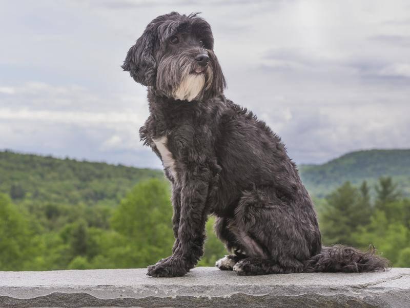 Etwas ordentlicher frisiert macht der Portugiesische Wasserhund ganz schön was her – Bild: Shutterstock / Lee319
