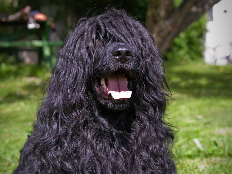 Ihre üppige Lockenpracht ist das Markenzeichen der Portugiesischen Wasserhunde – Bild: Shutterstock / AnnaIA