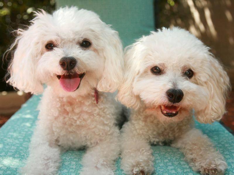 Der Bichon Frisé ist ein ruhiger, braver, leicht erziehbarer Hund der sich mit anderen meist blendend versteht – Bild: Shutterstock / mikeledray