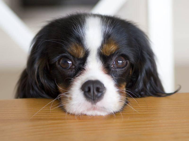 Langweile findet der Cavalier King Charles Spaniel doof: Viel lieber macht er ein bisschen Hundesport wie Agility – Bild: Shutterstock / Fotyma