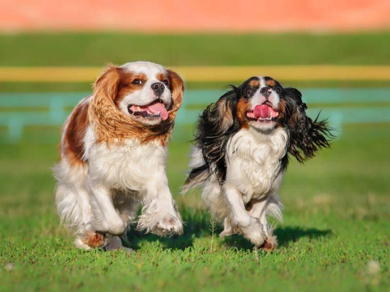 Er mag gerne laufen: Lange Spaziergänge findet der Cavalier King Charles Spaniel toll! – Bild: Shutterstock / Anna-Tyurina