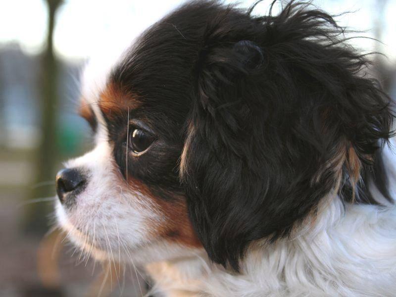 Er ist ein folgsamer und liebenswerter Hund und der sich gern bemüht, um seinem Herrchen zu gefallen – Bild: Shutterstock / pixeldreams.eu
