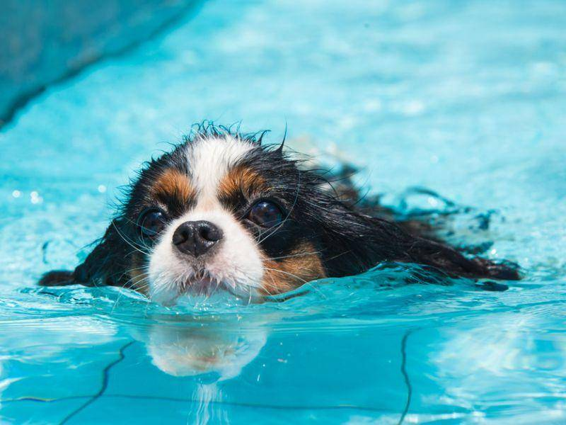 Und wie man sieht: Manche Hunde dieser Rasse sind auch ganz und gar nicht wasserscheu – Bild: Shutterstock / guigaamartins