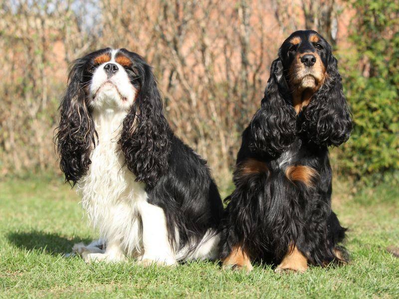 Mit anderen Haustieren versteht sich der Cavalier King Charles Spaniel normalerweise super – Bild: Shutterstock / Zuzule