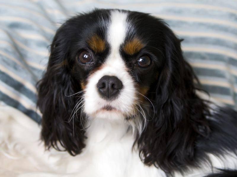 Seine liebevolle Art und die leichte Erziehbarkeit machen ihn auch zu einem guten Anfängerhund – Bild: Shutterstock / Fotyma