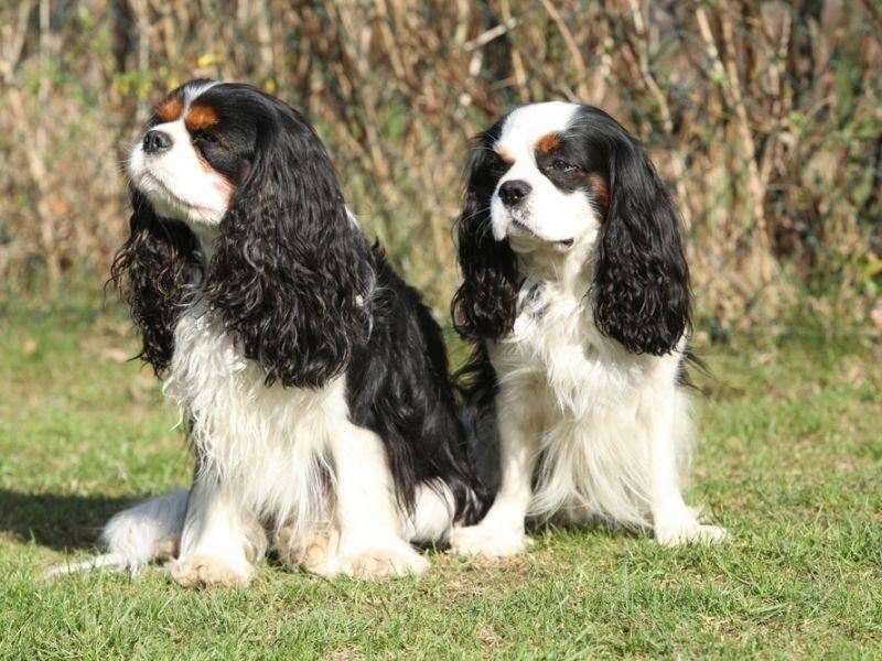 Und nicht zu vergessen: Wunderschön sind die Cavalier King Charles Spaniel auch! – Bild: Shutterstock / Zuzule