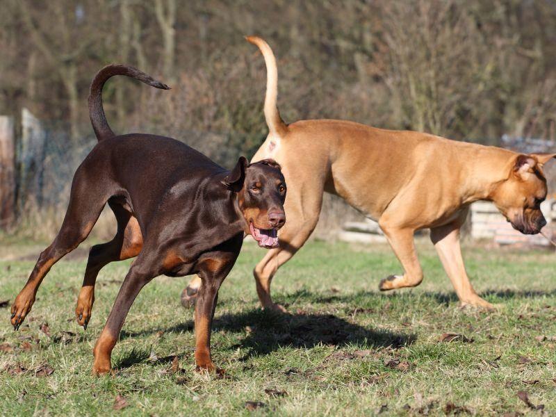 Und wie alle Hunde tobt auch der Dobermmann gern mit seinen Kumpels – Bild: Shutterstock / Jana-Behr