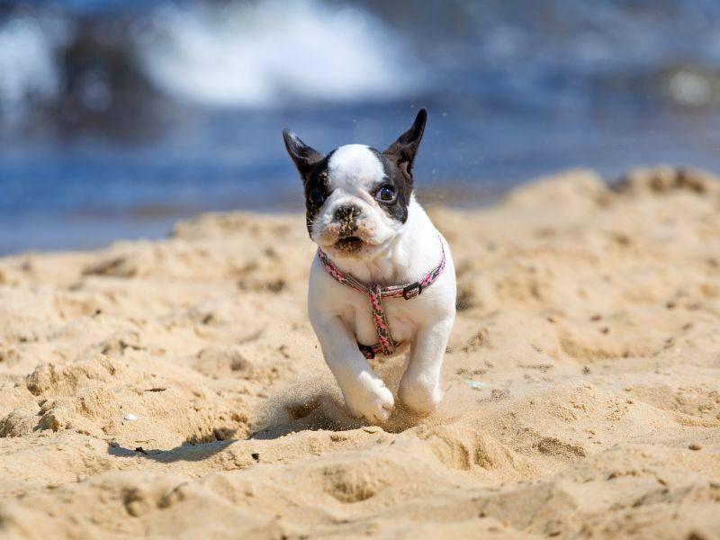 Rennen was das Zeug hält: Diese Französische Bulldogge im Kleinformat probiert es schon mal aus – Bild: Shutterstock / Patryk Kosmider