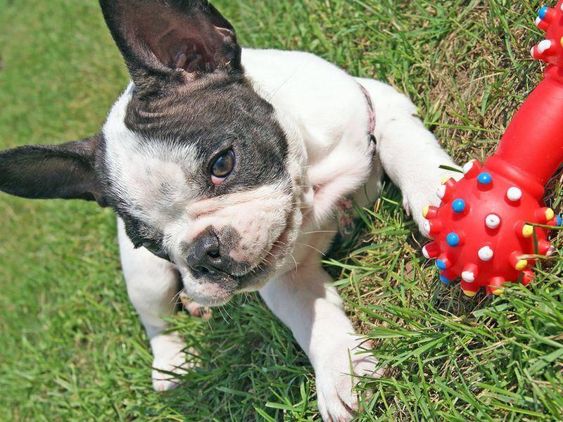 """""""Guckt mal, das hab ich neu ..."""" Französische Bulldogge zeigt ihr Lieblingsspielzeug – Bild: Shutterstock / Tomasz-Guzowski"""