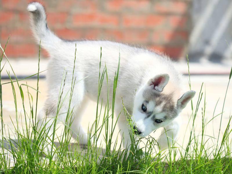 Im Garten spielen, das macht Husky-Welpen Spaß – Bild: Shutterstock / Pshenina_m