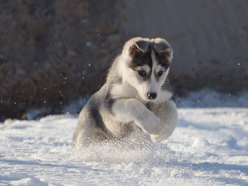 Im Schnee aber auch! Klar, schließlich sind Huskys Schlittenhunde – Bild: Shutterstock / Viktoriia-Bondarenko