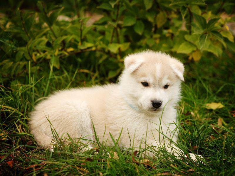 Ganz in Weiß: Auch diese Farbe steht dem Husky-Welpen sehr gut – Bild: Shutterstock / Ermolaev Alexander