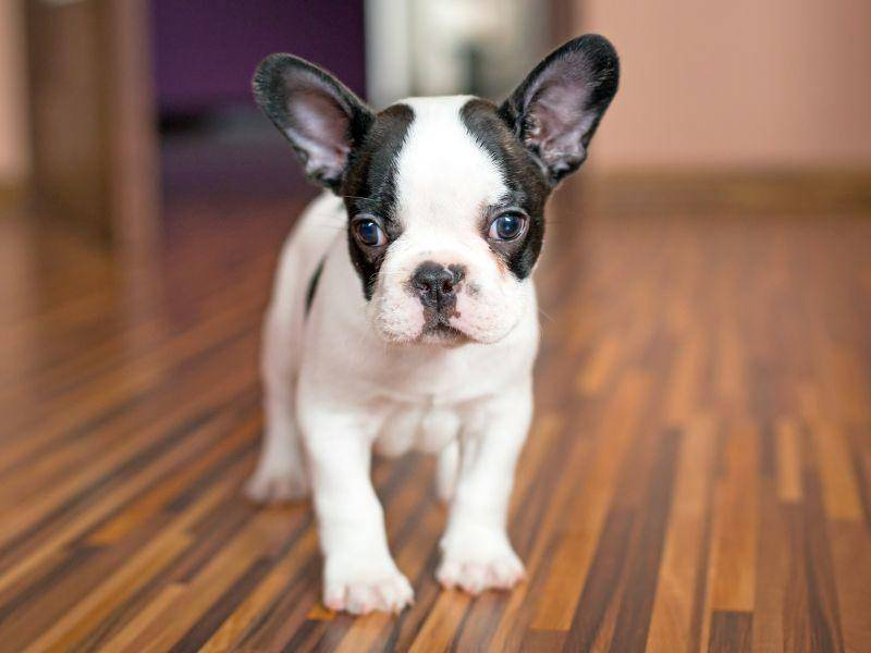Und die letzte Französische Bulldogge in unserer Runde: Klein aber fein – Bild: Shutterstock / Patryk Kosmider