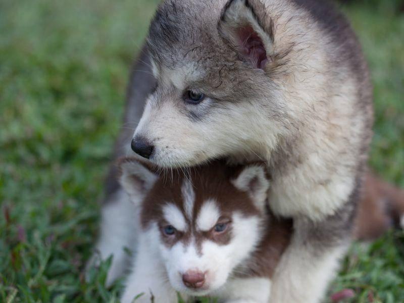 Gut beschützt von seinem großen Kumpel: En zauberhafter Husky-Welpe – Bild: Shutterstock / jethuynh