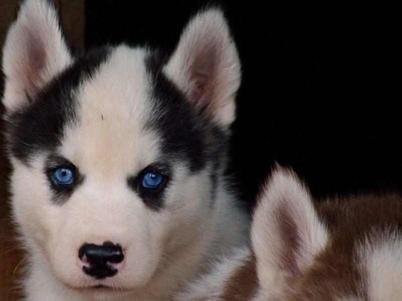 Die Augen dieses schönen Husky-Welpen leuchten von Natur aus – Bild: Shutterstock / jethuynh