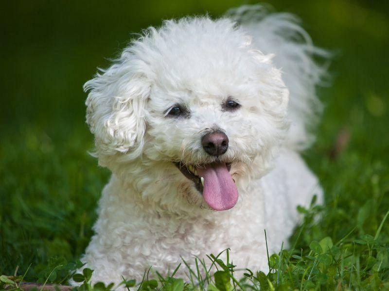 Der kinderfreundliche und geduldige Bichon Frisé ist ein toller Familienhund – Bild: Shutterstock / Tomas Picka