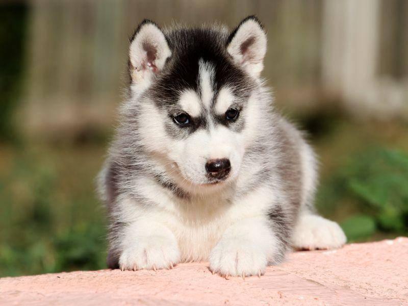 Warten auf das Groß und Stark werden: Kleiner Husky-Welpe – Bild: Shutterstock / Sbolotova