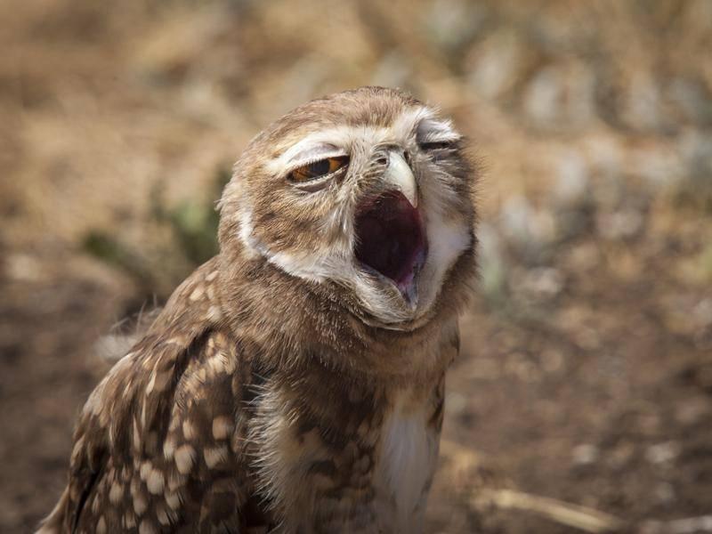 Tagsüber sind die nachtaktiven Eulen auch mal müde – Bild: Shutterstock / Agustin Esmoris