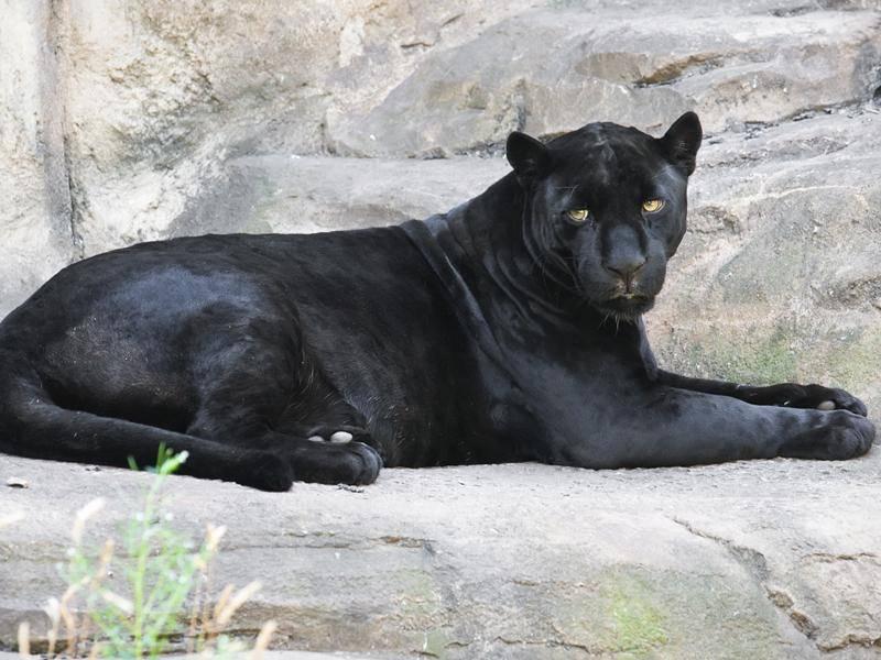 Wer genau hinschaut, sieht, dass der Panther eigentlich ein schwarzer Leopard ist – Bild: Shutterstock / Sailorr