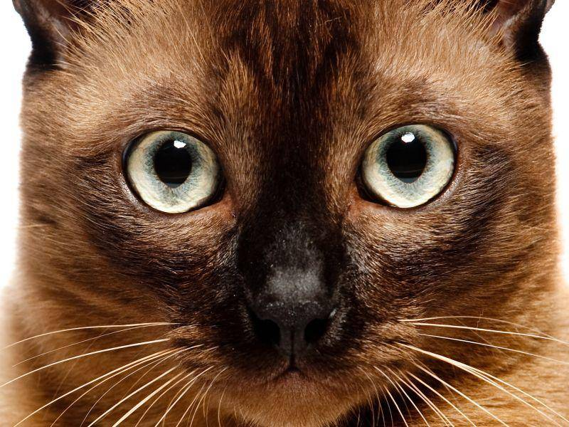 Besonderes Merkmal der schönen Burma-Katze: Ihre großen, ausdrucksvollen Augen – Bild: Shutterstock / Phil Date