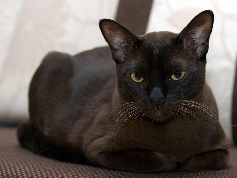 Der Charakter der Burma-Katze: Aktiv und sehr menschenbezogen – Bild: Shutterstock / Irina1977