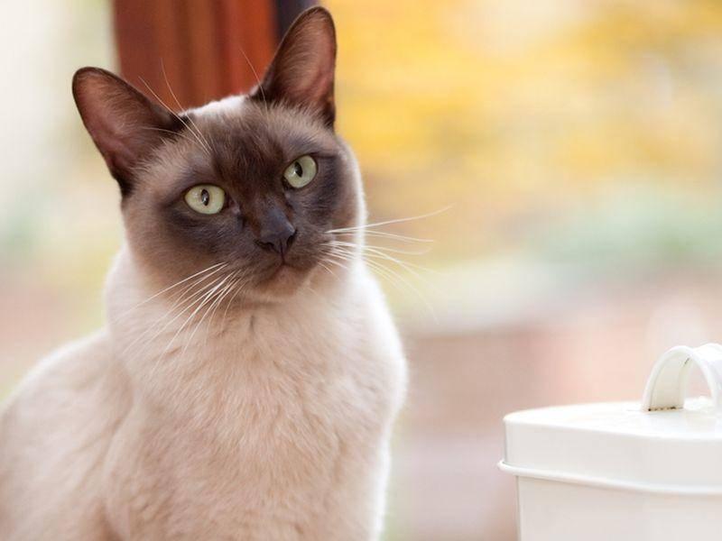Klar, dass die neugierige Burma-Katze sehr gern am Fenster sitzt. Auch Freigang genießt sie sehr – Bild: Shutterstock / Steve Mann
