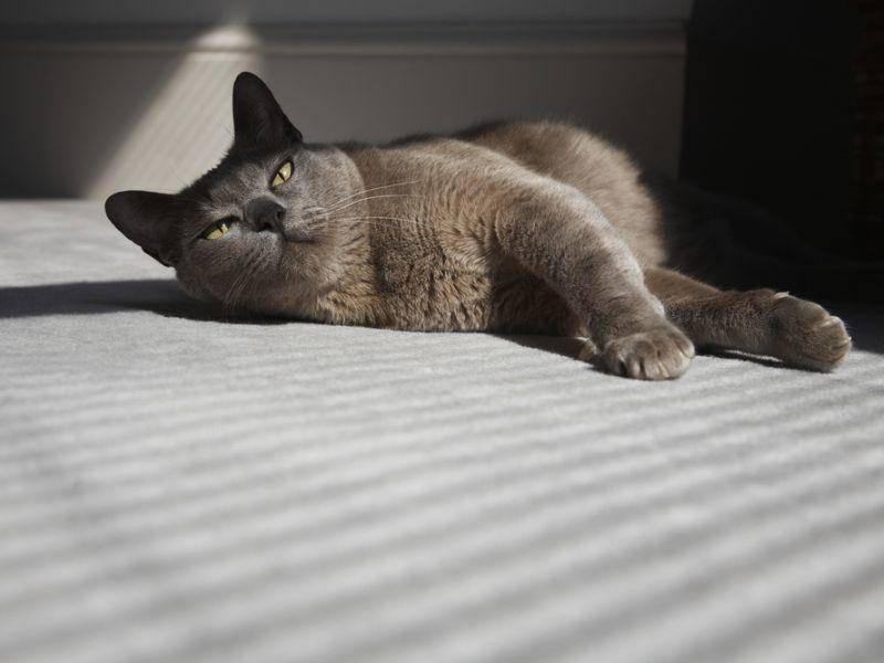 Normalerweise ist die Burma-Katze sehr kinderlieb und passt sehr gut in Familien – Bild: Shutterstock / bikeriderlondon
