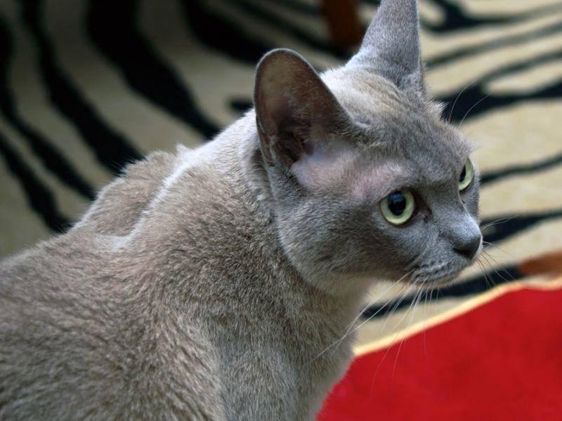 Eins ist sicher: Mit der schönen Burma-Katze wird es nie langweilig! – Bild: Shutterstock / Stephen Orsillo