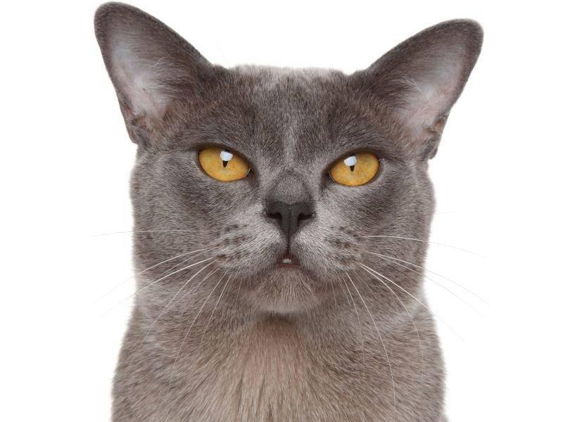 Sie sieht ihr zwar ähnlich, ist aber nicht so zart besaitet wie die Siam-Katze – Bild: Shutterstock / Jagodka