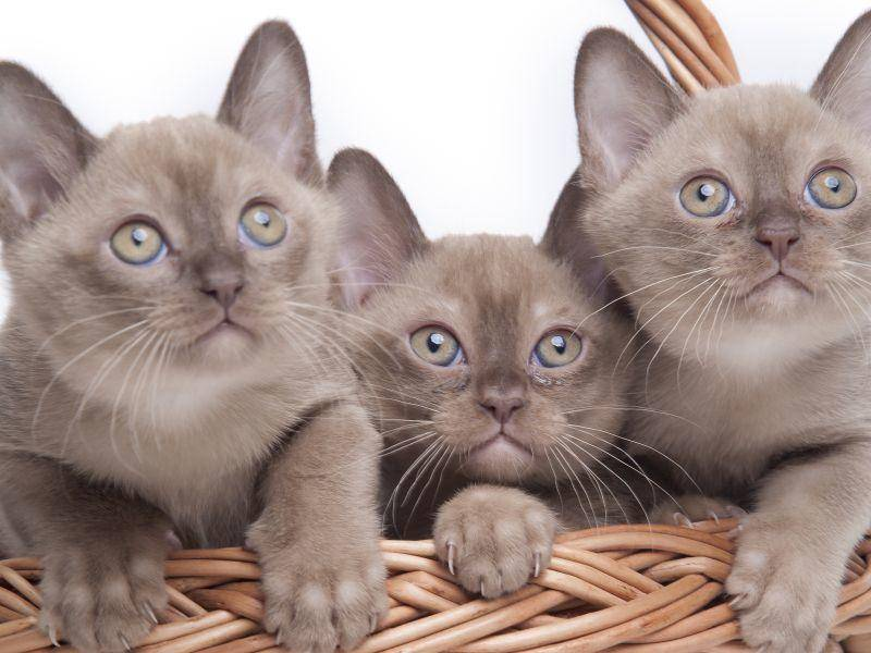 So sehen die – übrigens sehr verspielten – Kitten der Burma-Katze aus – Bild: Shutterstock / Dmitry Morgan