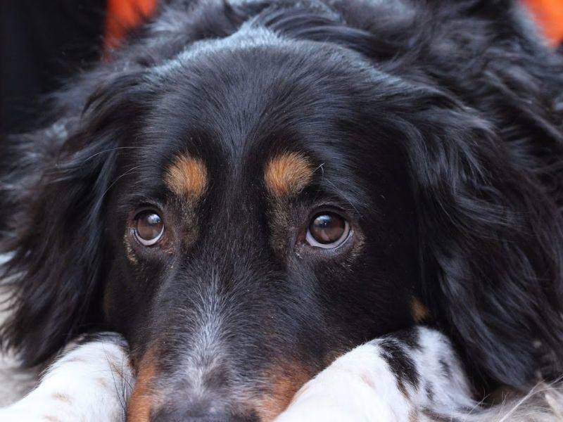 Aber auch dem Berner Sennenhund und dem Hovawart sieht der Süße ganz schön ähnlich, oder?