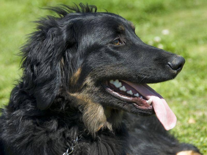 Er liebt seine Familie sehr und gilt als freundlicher, anhänglicher Hund, der aber eine konsequente Erziehung braucht – Bild: Shutterstock / cynoclub