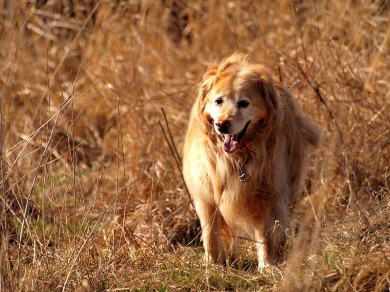 Der Hovawart ist ein mutiger, kräftiger, sportlicher Hund, der gerne rennt – Bild: Shutterstock / Jag_cz