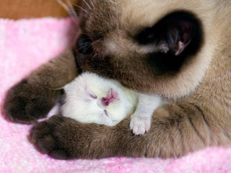 Wie süß: Diese liebevolle Katzenmama wärmt ihr schneeweißes Kitten – Bild: Shutterstock / vvvita