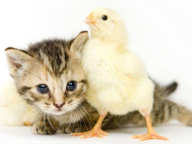 Wie niedlich: Katze und Küken posieren für's Foto – Bild: Shutterstock / Tony Campbell