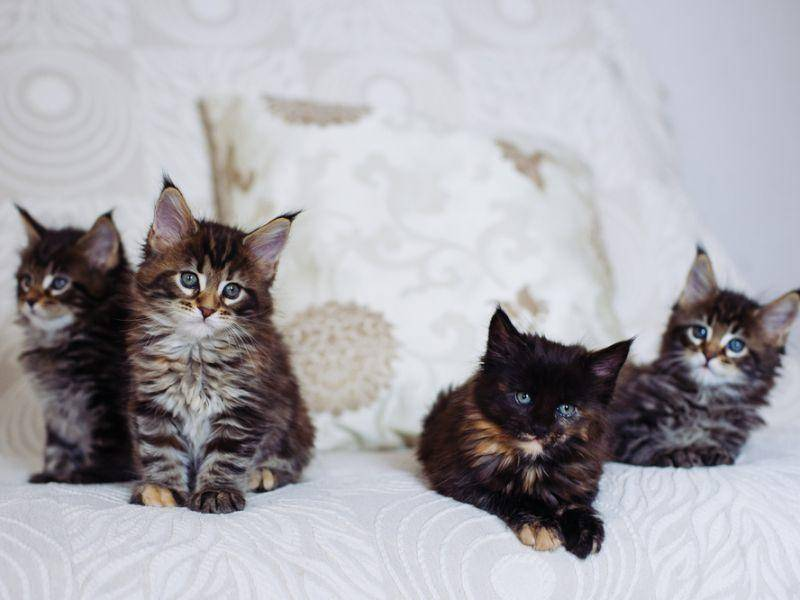 Zum Klauen süß: Eine Bande Maine Coon Katzenbabys – Bild: Shutterstock / Grigoriy Pil