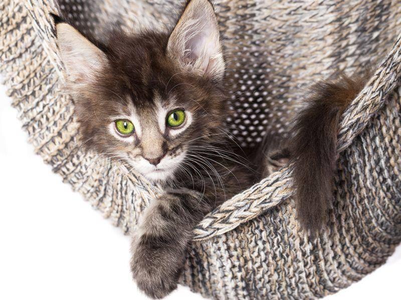 Ein bisschen herumhängen, da sagt keine Maine Coon Katze Nein – Bild: Shutterstock / Liliya Kulianionak
