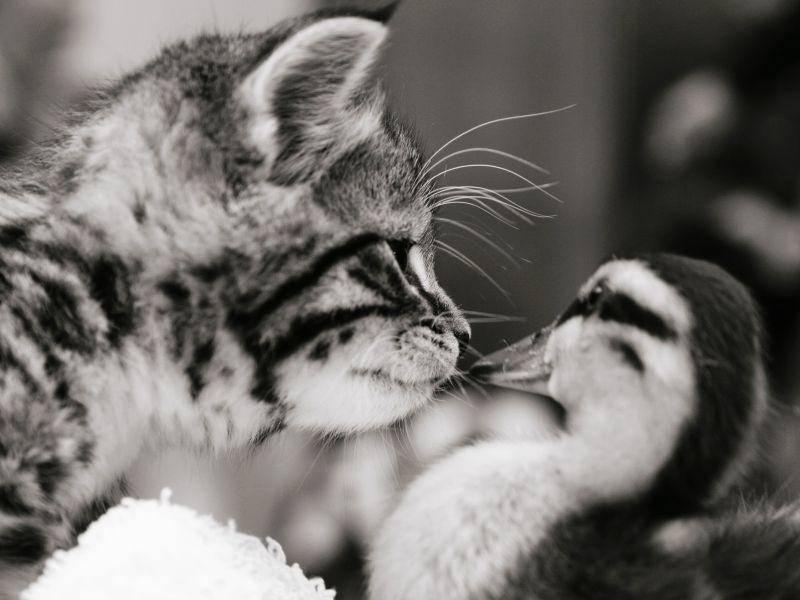 Ein schönes Schwarzweißbild von Katze und Küken – Bild: Shutterstock / Sue McDonald