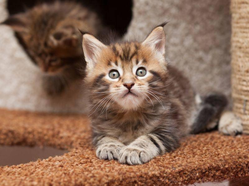 """""""Spielen?"""" Na klar, mit einem Maine Coon Katzenbaby doch immer – Bild: Shutterstock / Liliya Kulianionak"""