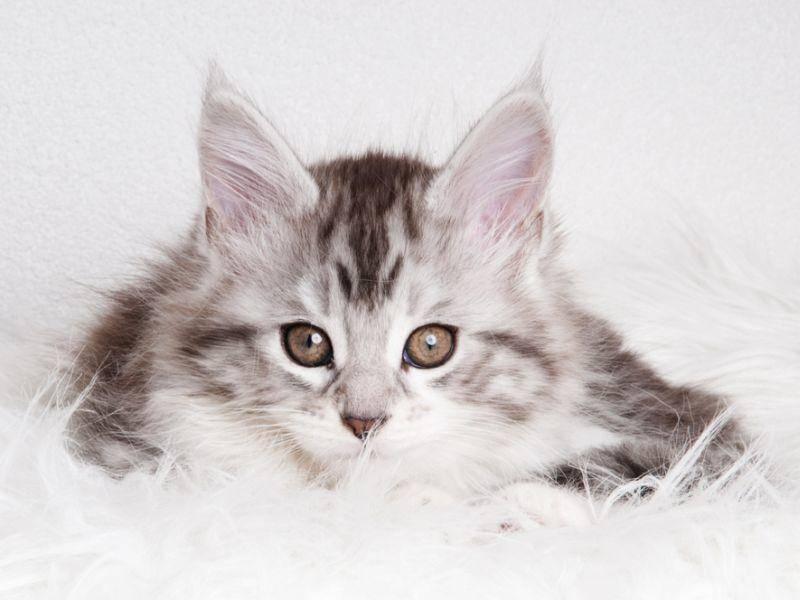 Schön und faszinierend: Die Augen einer jungen Maine Coon Katze – Bild: Shutterstock / Prezoom.nl