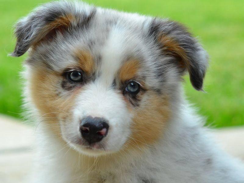 Und weil's so schön ist: Noch ein süßer Australian Shepherd mit blauen Augen – Bild: Shutterstock / Shooty Photography