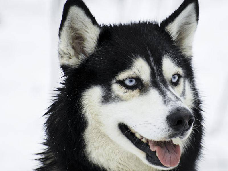 Und der letzte schöne Hund in unsere Runde: Ein Husky zum Verlieben – Bild: Shutterstock / Bildagentur Zoonar GmbH