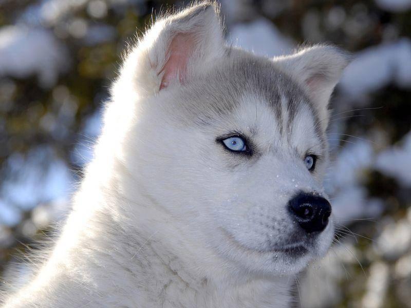 Eisblaue Augen und ein dickes, flauschiges Fell: Der Husky – Bild: Shutterstock / PHILIPIMAGE
