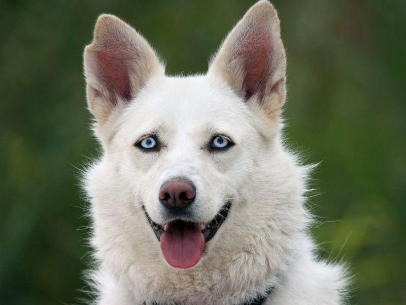 Bei diesem weißen Husky-Mischling leuchten die blauen Auen richtig – Bild: Shutterstock / Anna Jurkovska