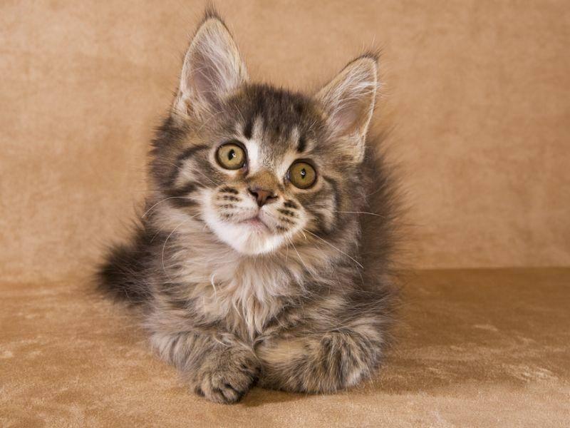 Was dieses Maine Coon Jungkätzchen wohl gerade denkt? – Bild: Shutterstock / Robynrg