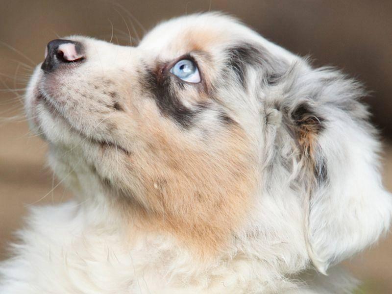 Unser zweiter kleiner Kandidat mit blauen Augen ist ein Australian Shepherd – Bild: Shutterstock / Zuzule