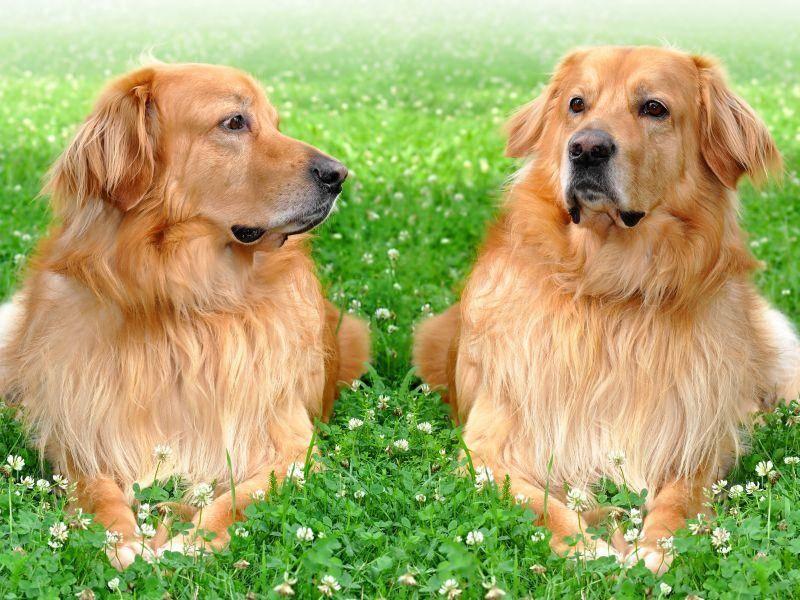 Hovawarts sind tolle Familienhunde, können aber auch als Wach-, Schutz und Rettungshunde eingesetzt werden – Bild: Shutterstock / Vaclav Volrab
