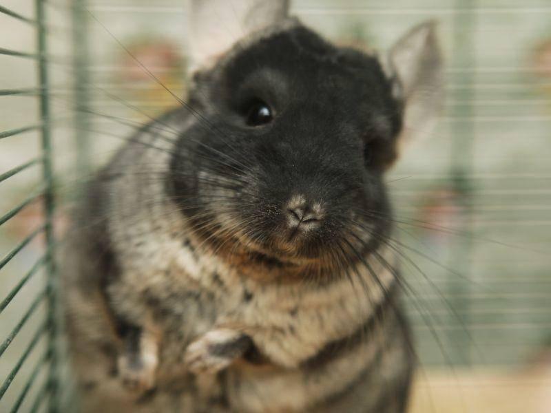 Süßer Chinchilla zeigt sein schönstes Foto-Gesicht – Bild: Shutterstock / Juice Team