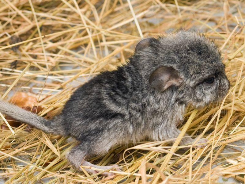 Chinchilla-Baby im Stroh: Na, da ist aber jemand noch sehr klein! – Bild: Shutterstock / shamek